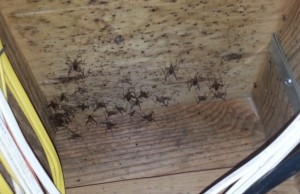 What lives in your crawl, whats living in your crawl space, camel crickets, mol, mold in crawl space, moldy insulation, cleaning your crawl space